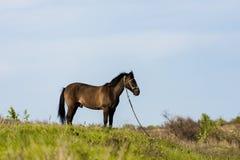 Giovane cavallo che pasce Fotografie Stock Libere da Diritti