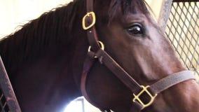 Giovane cavallo da corsa del purosangue nella stalla del granaio video d archivio