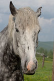 Giovane cavallo da tiro di Percheron Fotografie Stock Libere da Diritti