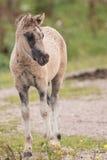 Giovane cavallo 2 di Konik Fotografia Stock Libera da Diritti