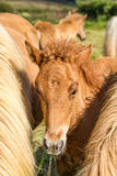 Giovane cavallo islandese Immagine Stock Libera da Diritti
