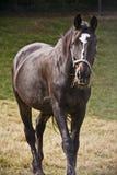Giovane cavallo marrone che posa contro i giacimenti della molla Fotografia Stock