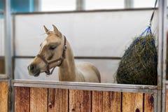 Giovane cavallo nella penna Immagine Stock