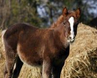 Giovane cavallo su un'erba Fotografia Stock Libera da Diritti