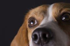 Giovane cercare del cane da lepre Fotografie Stock Libere da Diritti