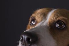 Giovane cercare del cane da lepre Fotografia Stock Libera da Diritti