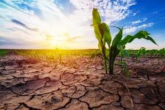Giovane cereale che cresce nell'ambiente asciutto Fotografia Stock