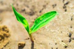Giovane cereale crescente Fotografie Stock Libere da Diritti