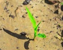 Giovane cereale crescente Fotografia Stock Libera da Diritti