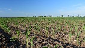 Giovane cereale di estate stock footage