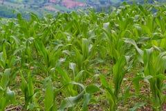 Giovane cereale verde in azienda agricola Fotografia Stock Libera da Diritti