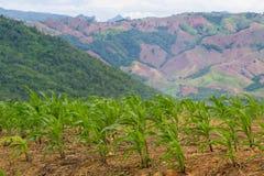 Giovane cereale verde in azienda agricola Immagine Stock Libera da Diritti