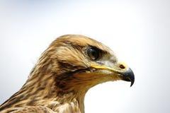 Giovane cervo volante rosso - Milvus Milvus Fotografia Stock Libera da Diritti