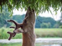 Giovane cervus elaphus del maschio dei cervi nobili in corni del velluto Fotografie Stock Libere da Diritti