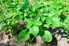 Giovane cespuglio della patata sulla terra in un campo. Immagine Stock