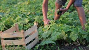 Giovane cetriolo maschio di raccolto dell'agricoltore all'azienda agricola organica di eco archivi video