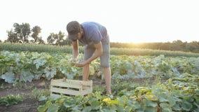 Giovane cetriolo maschio di raccolto dell'agricoltore all'azienda agricola organica di eco Fotografie Stock Libere da Diritti