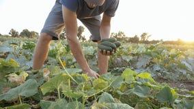 Giovane cetriolo maschio di raccolto dell'agricoltore all'azienda agricola organica di eco Immagini Stock Libere da Diritti