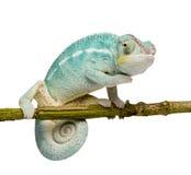 Giovane Chameleon Furcifer Pardalis - curioso sia Fotografia Stock Libera da Diritti