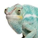 Giovane Chameleon Furcifer Pardalis - curioso sia fotografia stock