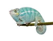 Giovane Chameleon Furcifer Pardalis - curioso sia Immagini Stock Libere da Diritti