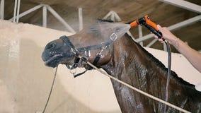 Giovane che pulisce il cavallo nella stalla archivi video