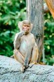 Giovane cibo del babbuino di hamadryas immagini stock libere da diritti