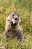 Giovane cibo della marmotta Immagine Stock