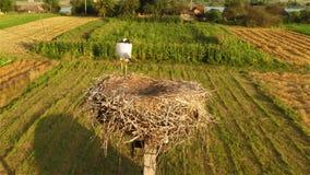 Giovane cicogna in nido archivi video