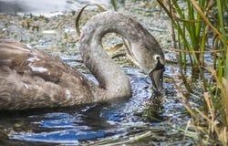 Giovane cigno che si alimenta in canne del lago fotografia stock libera da diritti