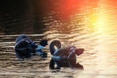 Giovane cigno due sul tramonto di pulizia del lago fotografia stock libera da diritti