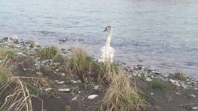 Giovane cigno muto vicino all'acqua stock footage