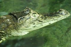 Giovane coccodrillo Immagini Stock