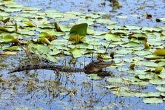 Giovane coccodrillo americano Fotografie Stock