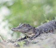 Giovane coccodrillo americano Fotografia Stock