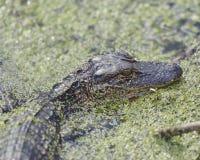 Giovane coccodrillo americano Immagini Stock Libere da Diritti