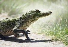 Giovane coccodrillo americano Fotografia Stock Libera da Diritti