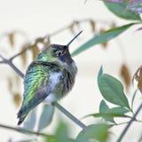 Giovane colibrì fotografia stock
