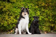 Giovane collie dei cuccioli e Schnauzer miniatura Immagine Stock