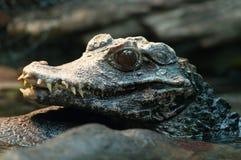 Giovane colpo in testa dell'alligatore cinese Fotografie Stock Libere da Diritti