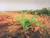 Giovane colza nel campo Colori verdi freschi dei fiori Seme di ravizzone del seme oleifero Fotografia Stock