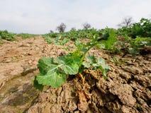 Giovane colza nel campo Colori verdi freschi dei fiori Seme di ravizzone del seme oleifero Immagine Stock Libera da Diritti