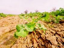 Giovane colza nel campo Colori verdi freschi dei fiori Seme di ravizzone del seme oleifero Immagini Stock