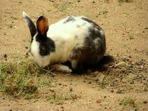 Giovane coniglio Fotografia Stock Libera da Diritti