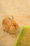 Giovane coniglio che si siede vicino al cassetto dell'alimento Fotografie Stock Libere da Diritti