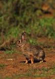 Giovane coniglio di silvilago Immagine Stock