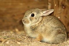 Giovane coniglio di silvilago Fotografie Stock
