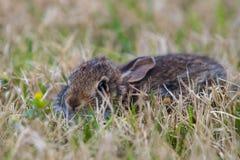 Giovane coniglio marrone in erba alta fotografie stock libere da diritti