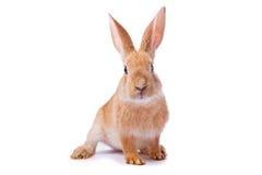 Giovane coniglio rosso curioso isolato
