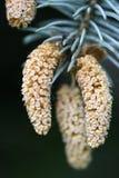 Giovane cono del pino Fotografia Stock